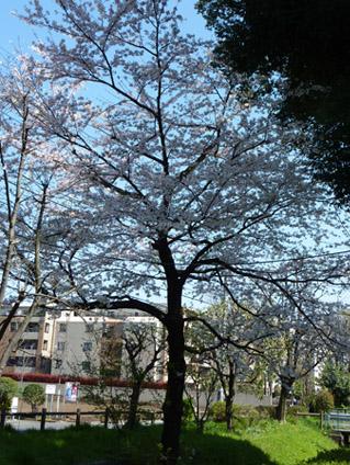 Sakura_100408_01ts