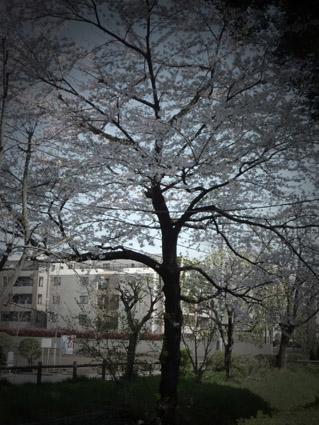 Sakura_100408_02s